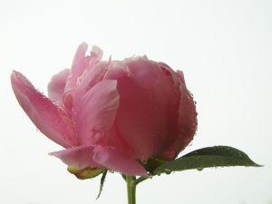 Prechádzka ružovou záhradou
